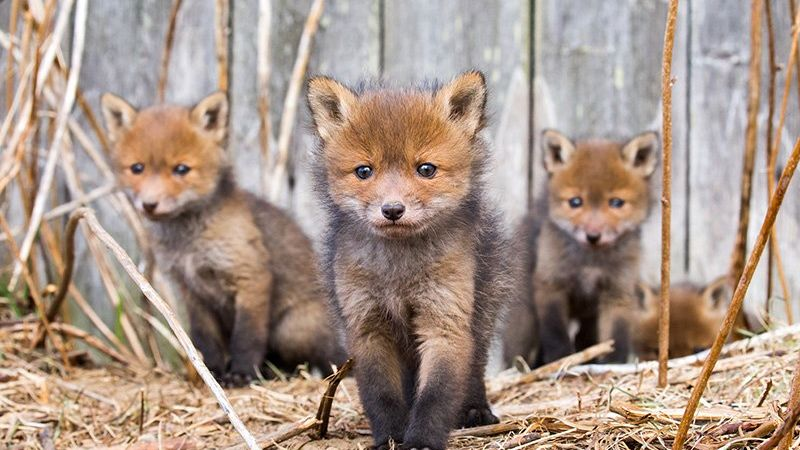 Three fox cubs play walk towards us and one crouches behind, all of them in front of a wooden fence.